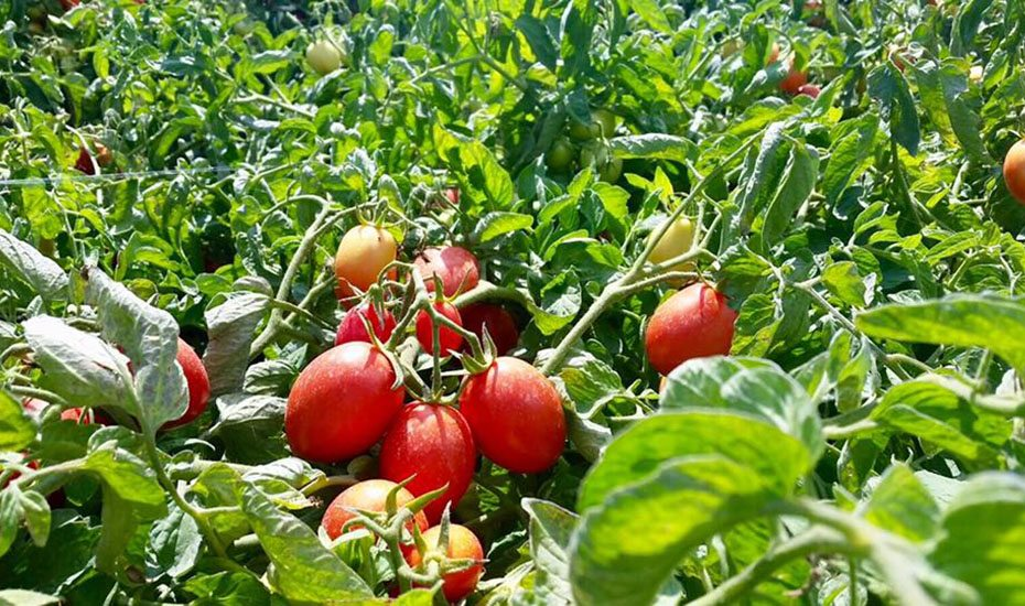 Alce Nero | Organic products in Singapore | Tomatoes from Italy