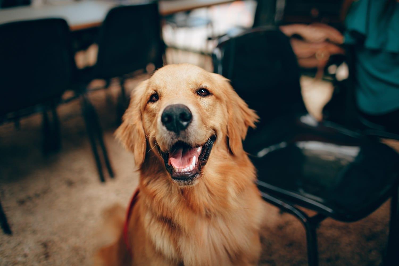 A golden retriever smiling